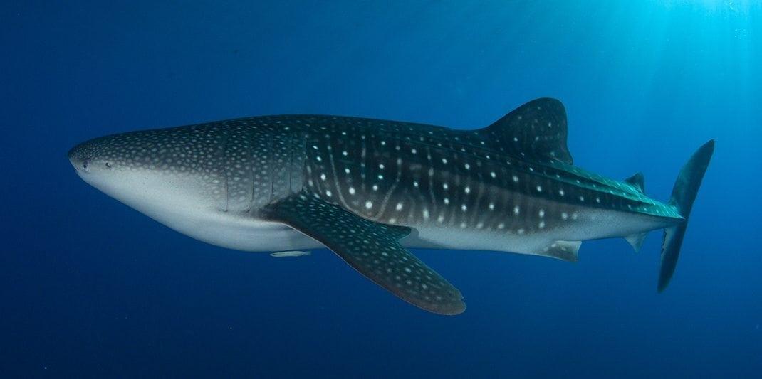 whale shark Angelfish Searunner Speedboat Phuket