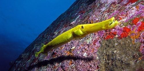 Racha Diving Trumpet fish Searunnerspeedboat